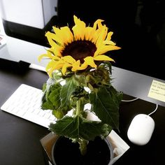 New office assistant: baby sunflower. My favorites. #sunflower #herbalism #myherbalstudies #office #officelife #officeview #girlboss #bossbabe