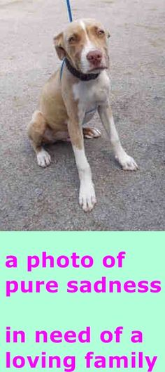 CUSTOM (A1702034) I am a male brown merle and white Terrier mix. The shelter staff think I am about 5 months old. I was found as a stray and I may be available for adoption on 05/31/2015. Miami Dade https://www.facebook.com/urgentdogsofmiami/photos/pb.191859757515102.-2207520000.1433171825./985148481519555/?type=3&theater