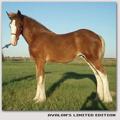 ::: Avalon Shires - Foals for sale :::
