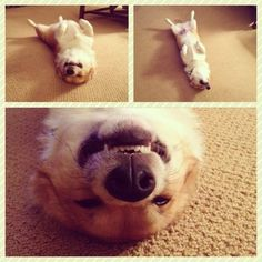 """""""this is Frank. He enjoys sleeping upside down and smiling."""". As does Rita, must be a corgi thing."""