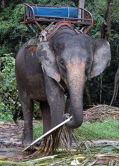Elephant, Koh Samui, Thailand, Asia | In Koh Samui you can book a Elephant trekking tour, I didn't.