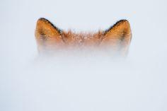 Foxes – Ivan Kislov Photography