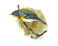 Northern Parula - Setophaga americana...a small New World warbler. It breeds in eastern North America from southern Canada to Florida.