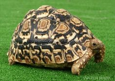Leopard tortoise! I so want one wandering around my house.