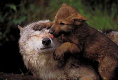 Bears and Wolves - UPDATE December 19, 2014a federal court ended hunting of wolves in the western Great Lakes area (which includes this area) and returned them to the endangered species list http://m.humanesociety.org/news/press_releases/2014/12/fed-court-wolf-hunt-season-over-121914.html.
