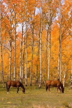 ☀Two Colorado High Country Autumn Horses. By James Bo Insogna* Fall Horses Learn about www. Autumn Nature, Autumn Day, Autumn Leaves, Fall Trees, Beautiful Horses, Beautiful Places, Autumn Scenes, Country Life, Country Fall