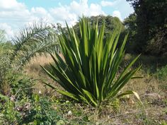 Plantas que curam: Pita