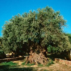 Está en la isla de Creta, en Grecia y se estima que posee más de 3,000 años. Aún produce olivas, y son altamente cotizadas.