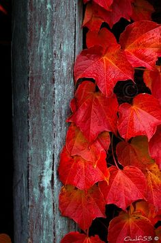 Fall in love with all the beautiful fall colors Red Leaves, Autumn Leaves, Maple Leaves, Autumn Nature, Autumn Fall, Seasons Of The Year, Foto Art, Shades Of Red, Fall Season