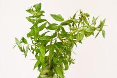Lemon Verbena Recipes: 35 Ways to Use Lemon Verbena | Chocolate & Zucchini
