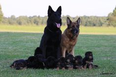 """GSD Family Hope you're doing well.From your friends at phoenix dog in home dog training""""k9katelynn"""" see more about Scottsdale dog training at k9katelynn.com! Pinterest with over 20,400 followers! Google plus with over 143,000 views! You tube with over 500 videos and 60,000 views!! LinkedIn over 9,200 associates! Proudly Serving the valley for 11 plus years!"""