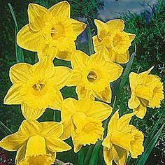 Premium Holland Bulbs, Flower Bulbs, Daylilies, Daffodils, Dahlias, Perennials, Tulip Bulbs, Garden Plants, Peonies and more - Brecks.com