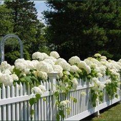 White hydrangea against a white picket fence.Hydrangeas are one of my faves! White Picket Fence, White Fence, Picket Fences, Green Fence, White Garden Fence, Picket Fence Garden, White Vinyl Fence, Garden Cottage, White Gardens