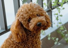 Poodle Intelligence: A Complete Guide With Helpful Videos – Poodle Report Dog Sleeping Positions, Sleeping Dogs, Top 10 Dog Breeds, Different Types Of Dogs, Poodle Haircut, Puppy Cut, Poodle Grooming, Kittens And Puppies, Wild Dogs