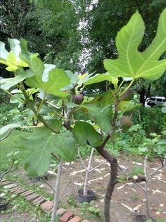 Ficus, Fruit, Figs, Fig, Ficus Tree