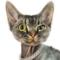 Take Fancy cats Fancy Cats, Cute Cats, Crazy Cat Lady, Crazy Cats, Elf Cat, Devon Rex Cats, Selkirk Rex, Egyptian Cats, Cornish Rex