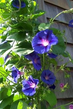 Morning Glory - climbs on lattice between garden shed and Brooke's garage. Will transplant some in 2013 to metal fence area.