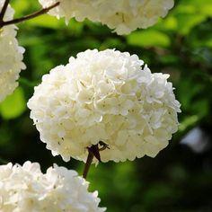 100Pcs White Hydrangea Seeds Garden Plant Bonsai Viburnum Flowering Plant Seeds