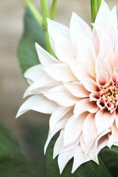 Cafe Au Lait dahlia - september flower