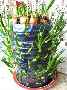 Onion in plastic bottle.