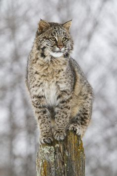 Bob Cats beautiful-wildlife: On The Fence by Anita Oakley - Big Cats, Cool Cats, Cats And Kittens, Nature Animals, Animals And Pets, Cute Animals, Beautiful Cats, Animals Beautiful, Exotic Cats