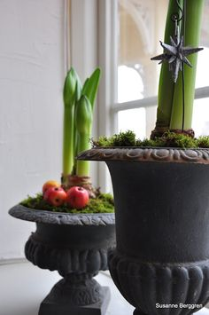 Cast iron urn housing amaryllis bulbs about to bloom with pomegranates at base