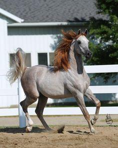 MSU Aria Spartan, rose grey Arabian colt
