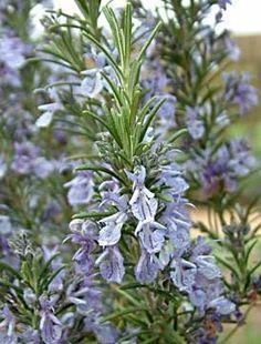 Rosmarinus officinalis 'Sissinghurst Blue'
