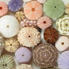 sea urchin pictures | Sea Urchin #Shells #Sesshell