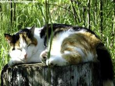 Sleepy Big Cat 1440X900 Photo