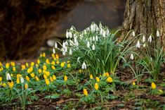Vintergækker og erantis kan plantes som en blomsterdyne af smukke gule og hvide blomster.