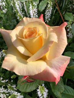 Beautiful Gif, Beautiful Roses, Exotic Flowers, Silk Flowers, Rose Oil Painting, Heirloom Roses, Cute Animal Photos, Carnivorous Plants, Garden Club