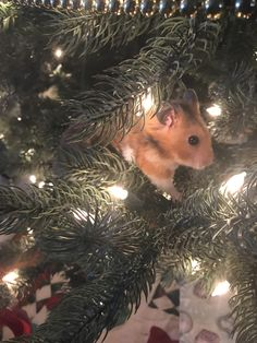 Suchi on the Christmas tree