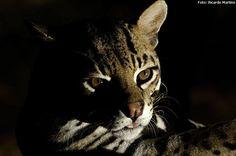 VOCÊ SABIA? A jaguatirica é um felino generalista. Pode ser encontrada em planícies alagáveis – como o Pantanal, em densas florestas – como a Amazônia, ou ambientes mais secos, como o Cerrado. Veja este e outros animais do Estado de São Paulo http://abr.ai/10UH6zm