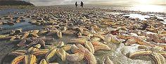 50,000 starfish mysteriously stranded on an Irish beach (Belfast Telegraph)