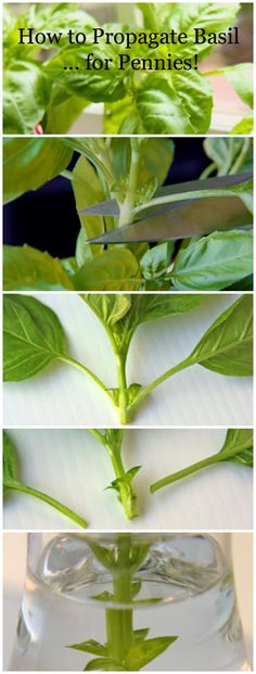 DIY How to Propagate Basil ... for pennies!