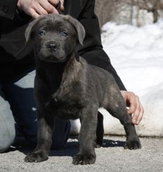 Cane corso- didn't think I liked any color besides the grey. Want it! Has to be a girl though.