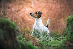 Jack Russell Intensity by Heavenly Pet Photography Atlanta