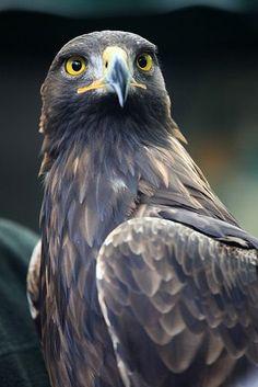 Golden Eagle Aquila chrysaetos Rare fall and winter visitor All Birds, Birds Of Prey, Love Birds, Pretty Birds, Beautiful Birds, Animals Beautiful, Rapace Diurne, Eagle Pictures, Golden Eagle