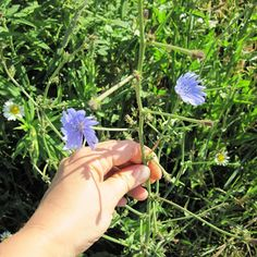 Chicory - Weekly Weeder #5