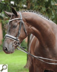 First Junior x Donatelli, Gelding - German Horse Center; Oldenberger dressage horse