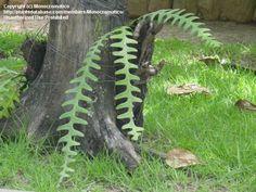Esta epífita cacuts Indiferente siquiera se parece a una planta real.  Me gusta.  Río de Janeiro, a mediados del verano.
