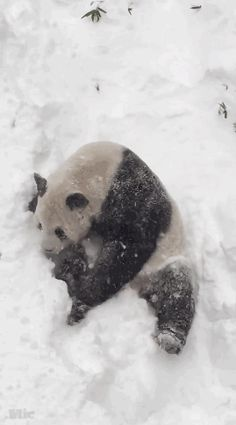 micdotcom:      Tian Tian, a giant panda who lives in Washington, D.C.'s National Zoo, is quite clearly having the most fun snow day ever. His son, Bei Bei, however was not all about it.