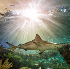 Black tip reef shark Orcas, Beautiful Creatures, Animals Beautiful, Reef Shark, Shark Shark, Delphine, Underwater Life, Ocean Creatures, Shark Week