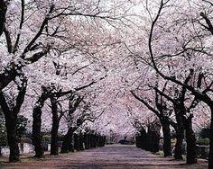 Hanami, Cherry Blossom Viewing, Yoyogi Park #japan #sakura
