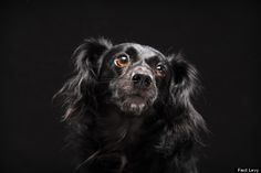 "The ""Black Dog Syndrome"" is surely dispelled by beautiful photos of these sweet adoptable dogs by Fred Levy's extraordinary photography talents."