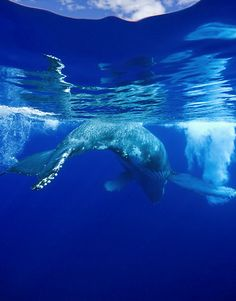 humpback whale hawaii by photoresourcehawaii.com