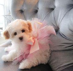 A fluffy dog wearing a pink, ballerina tutu.