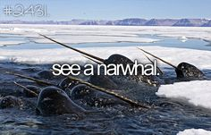 see a narwhal