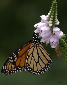 Monarch Butterfly By Charlene Palmer